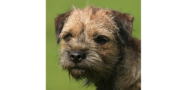 chien-border-terrier-portrait