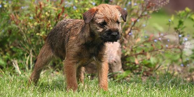 chien-border-terrier-chiot