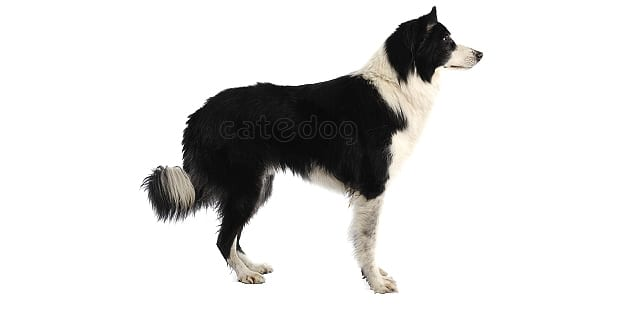 chien-border-collie