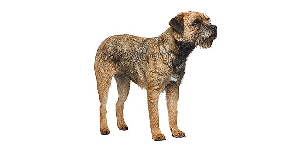 chien-border-terrier