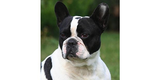 chien-bouledogue-francais-portrait-nature