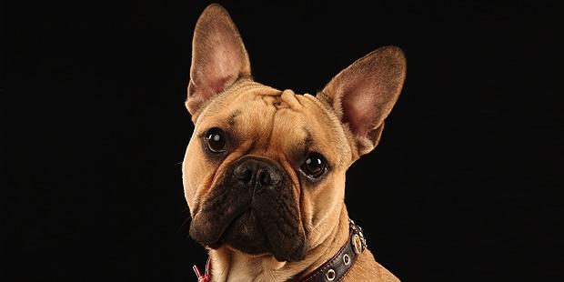 chien-bouledogue-francais-portrait-studio