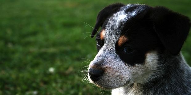 chien-bouvier-australien-chiot