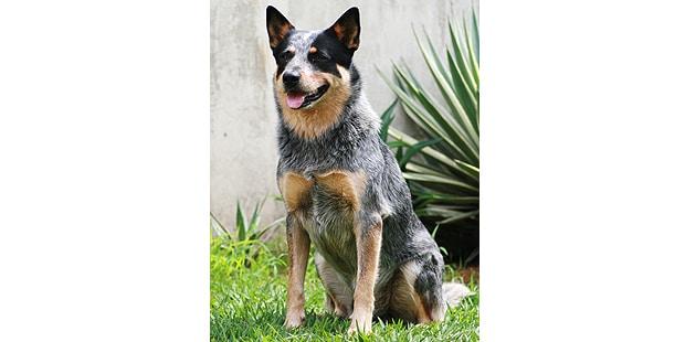 chien-bouvier-australien-assis