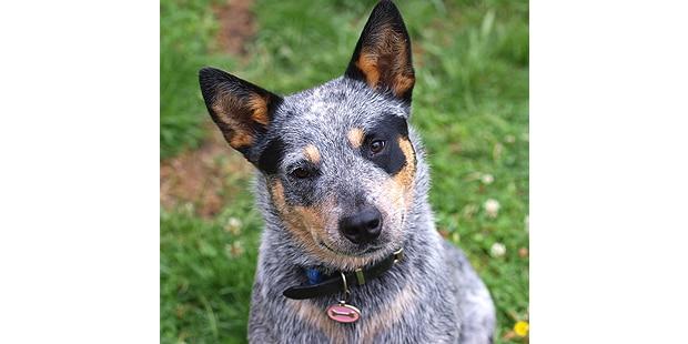 chien-bouvier-australien-portrait