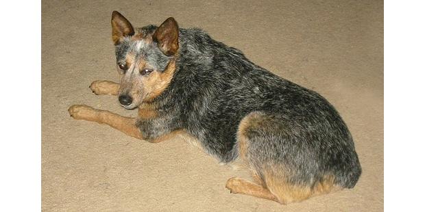 chien-bouvier-australien-courte-queue-couche