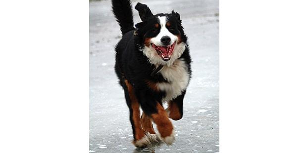 chien-bouvier-bernois-courir