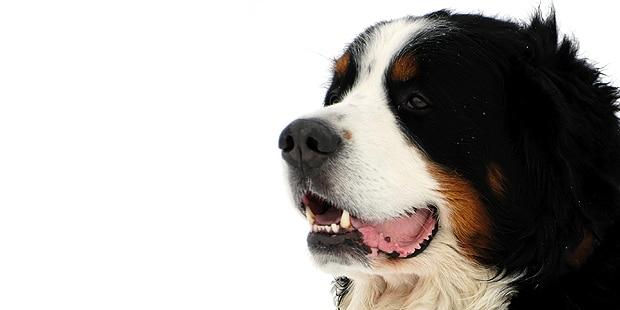 chien-bouvier-bernois-portrait