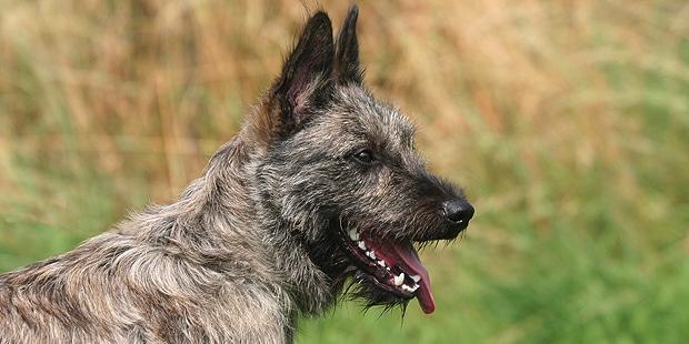 chien-bouvier-des-ardennes-profil
