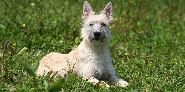 chien-bouvier-des-ardennes-blanc
