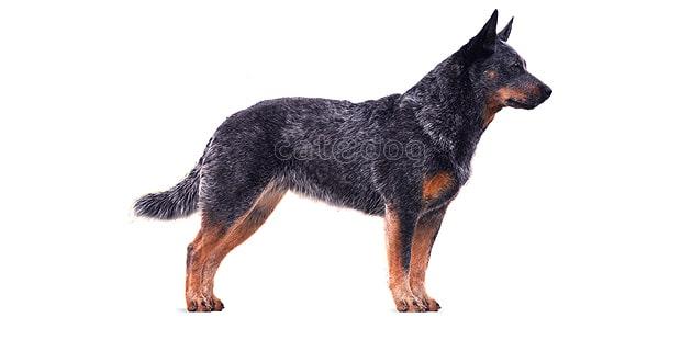 chien-bouvier-australien