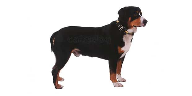 chien-bouvier-entlebuch-entlebucher-Sennenhund