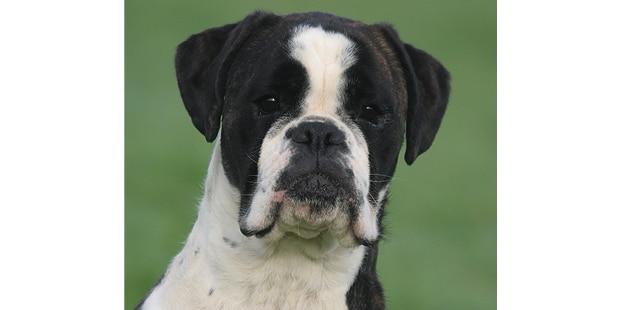 chien-boxer-portrait