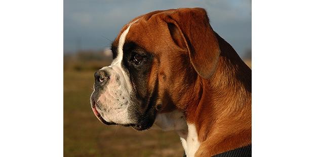 chien-boxer-profil