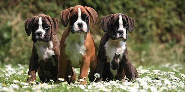 chien-boxer-chiots