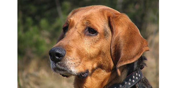 chien-brachet-polonais-Ogar-Polski-campagne