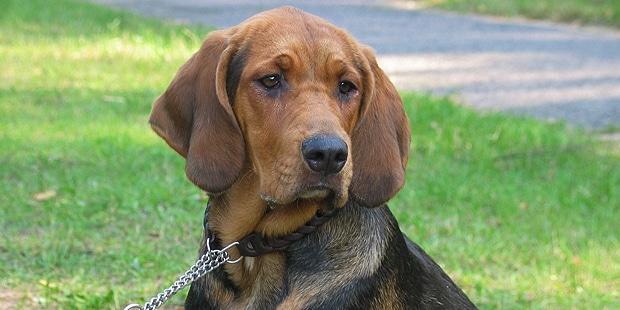 chien-brachet-polonais-Ogar-Polski-exterieur