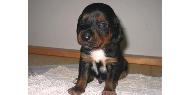 chien-brachet-tyrolien-Tiroler-Bracke-chiot