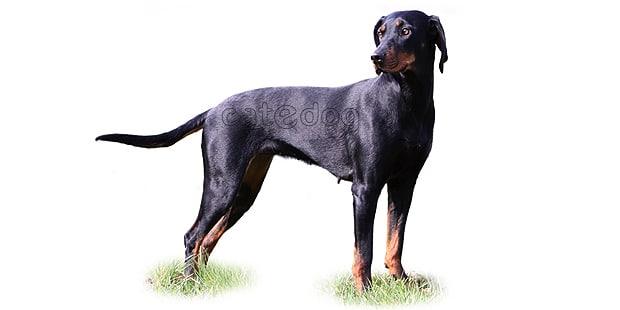 brachet-autrichien-noir-et-feu-chien