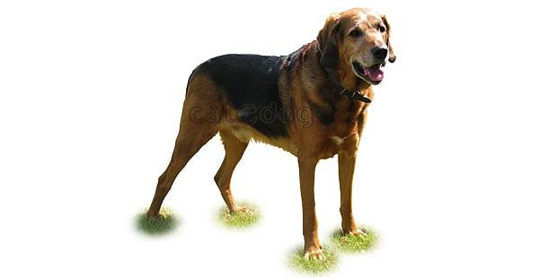 chien-brachet-polonais-Ogar-Polski