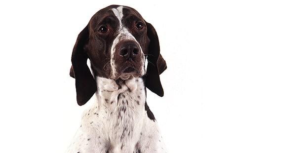 chien-braque-francais-type-pyrenees-portrait