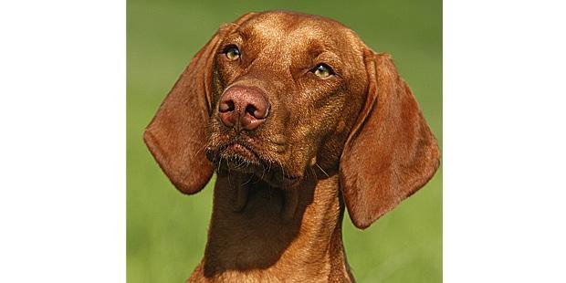 chien-braque-hongrois-poil-court-portrait
