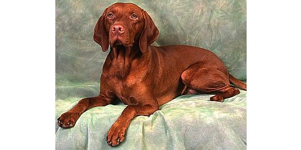chien-braque-hongrois-poil-court-couche