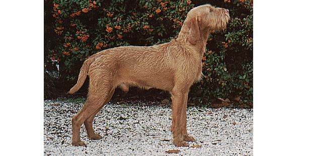 chien-braque-hongrois-poil-dur-profil