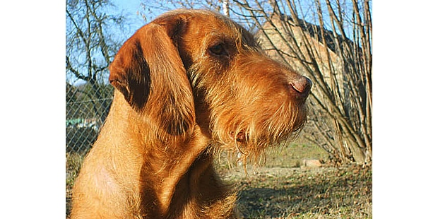 chien-braque-hongrois-poil-dur-portrait