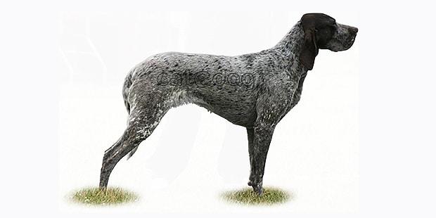 chien-braque-de-burgos-Perdiguero
