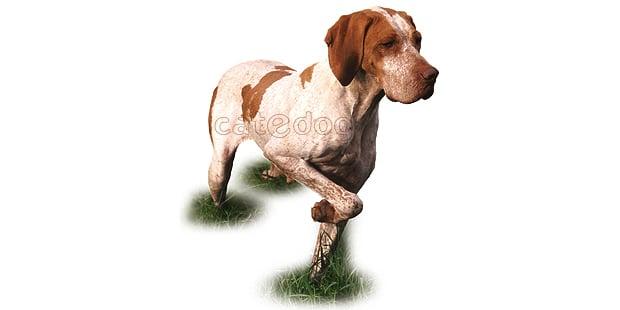 braque-de-ariege-Toulouse-Midi-chien