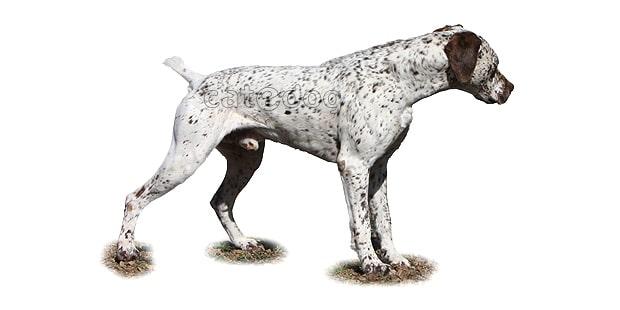 chien-braque-du-bourbonnais