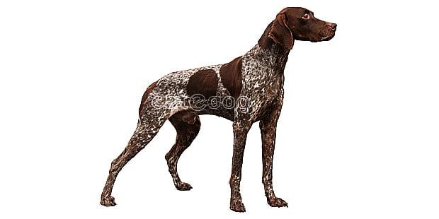 chien-braque-francais-type-pyrenees