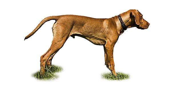 chien-braque-hongrois-poil-court