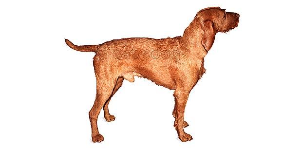 chien-braque-hongrois-poil-dur