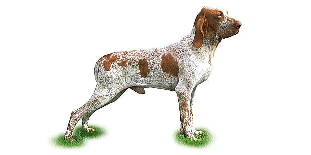chien_braque-italien_Bracco-Italiano