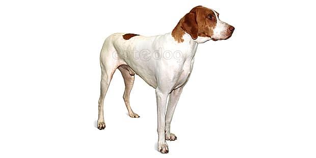chien-braque-saint-germain