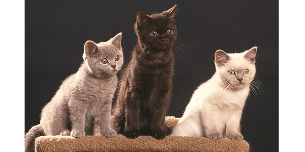 british-longhair-british-shorthair-celtic-trio