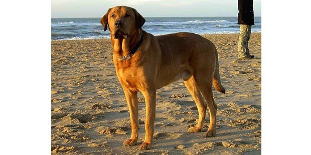 chien-broholmer-plage