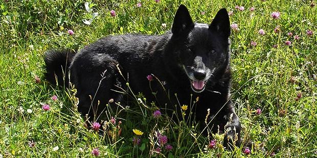 buhund-norvegien-norsk-buhund-herbes