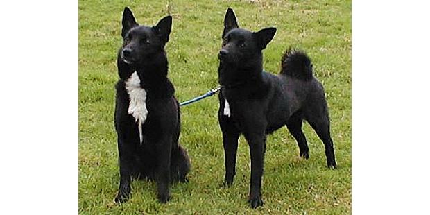 buhund-norvegien-norsk-buhund-duo