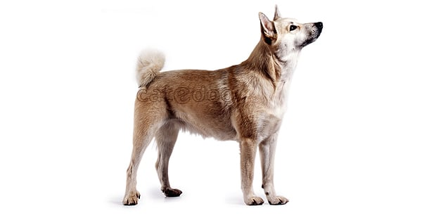buhund-norvegien-norsk-buhund