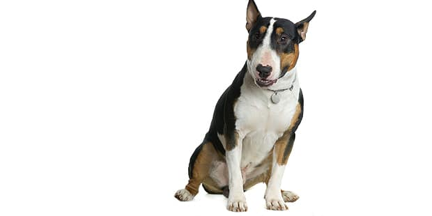 chien-bull-terrier-exterieur-adulte