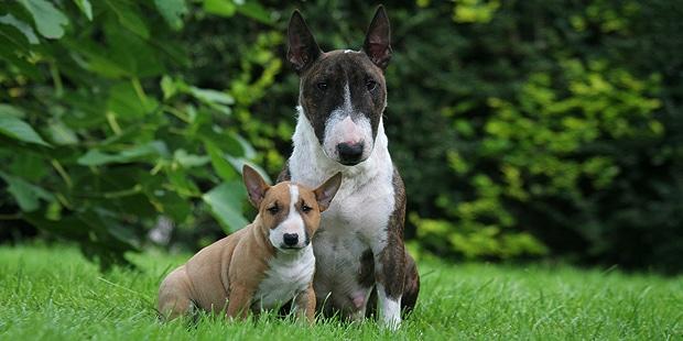 chien-bull-terrier-exterieur-chienne-chiot