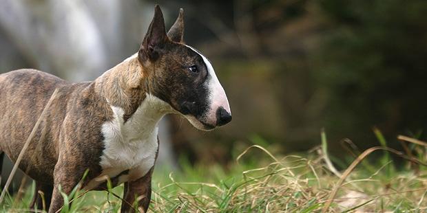 chien-bull-terrier-exterieur