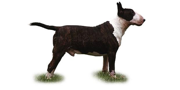 chien-bull-terrier