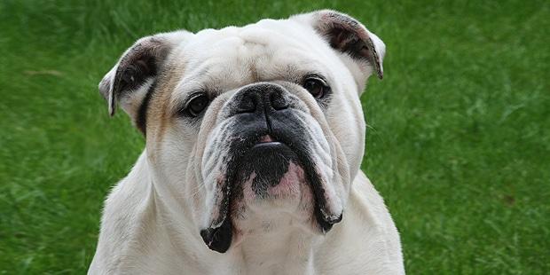 chien-bulldog-anglais-english-bulldog-portrait