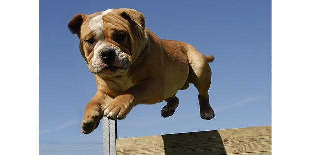 chien-bulldog-anglais-english-bulldog-agility