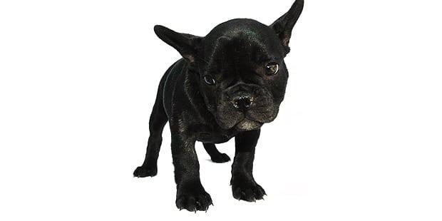 chien-bulldog-anglais-english-bulldog-noir
