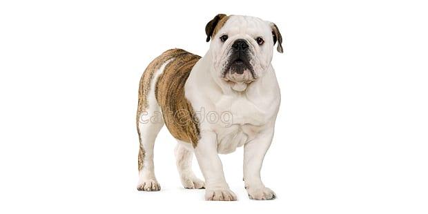 chien-bulldog-anglais-english-bulldog